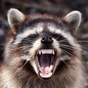 raccoon roar