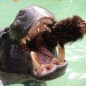 hippo brushing